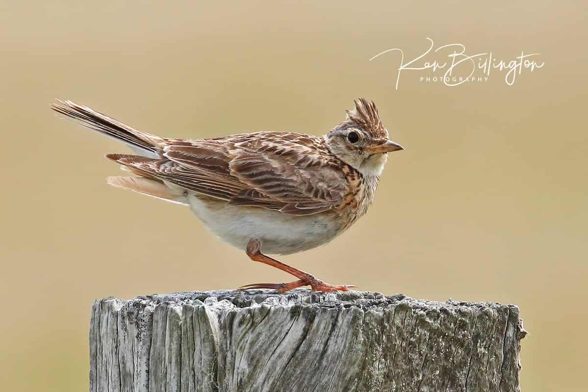 Skylark with a Crest on Top