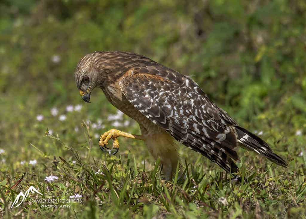 Juvinile Red-shouldered Hawk