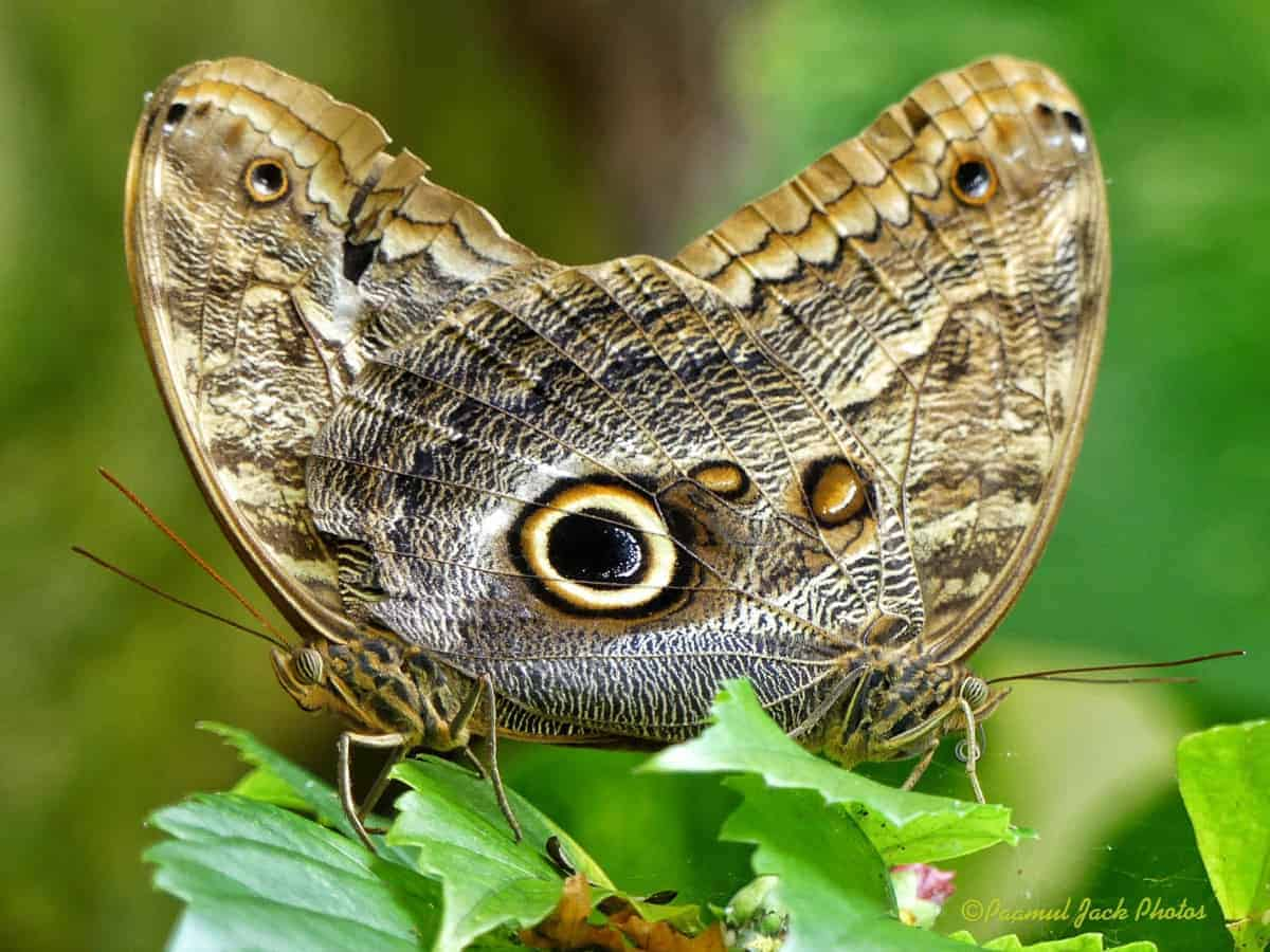 Pair of Owl Butterflies Mating by Paamul Jack