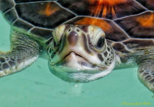 Young Sea-turtle