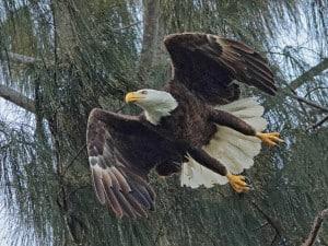 Bald Eagle Female in Flight