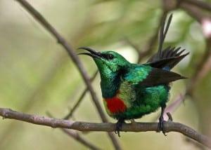 Male Beautiful Sunbird in Courtship Displa
