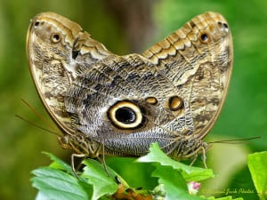 Pair of Owl Butterflies - Mating