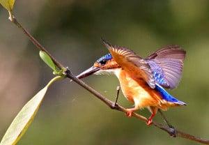 Immature Malachite Kingfisher Wing-flapping