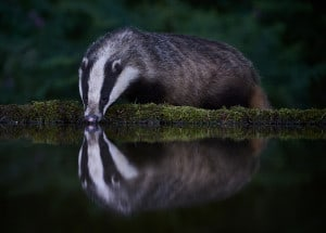 Thirsty Badger