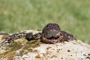Frog Resting