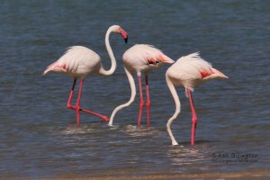 Lesser Flamingo (Phoenicoparrus Minor)