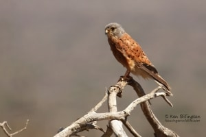 Rock Kestrel (Falco Rupicolus)
