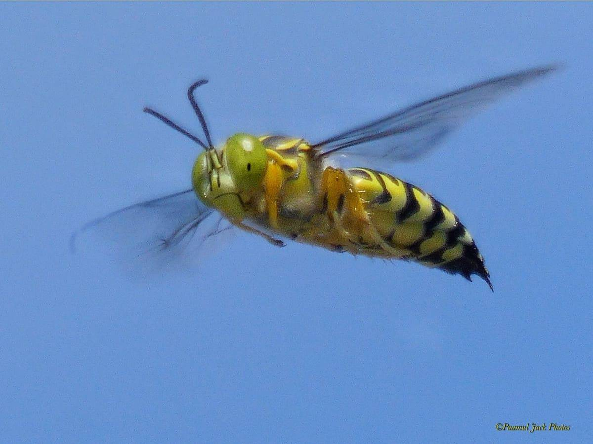 In Flight – Sand Wasp (Tribe Bembicini)
