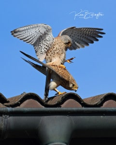 Love is in the Air - Kestrels Mating
