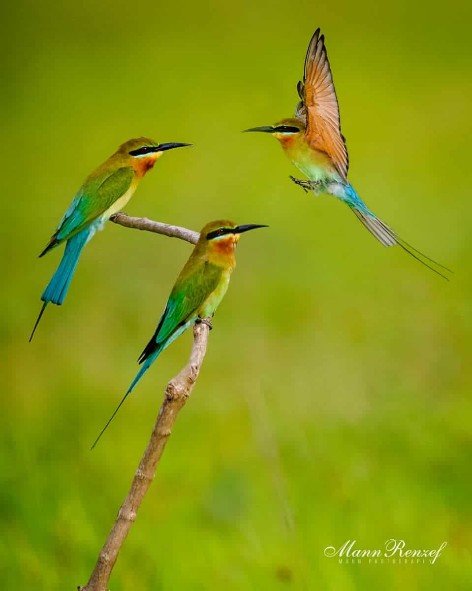 Blue Tailed Bee Eater by A. Rahman Bujang