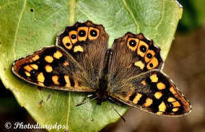 A Perfect Speckled Wood
