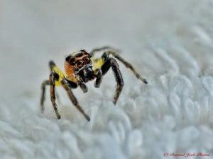 Colonus Jumping Spider