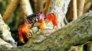 Yucatan Cenote Crab