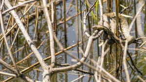 The Dice Snake (Natrix Tessellata)