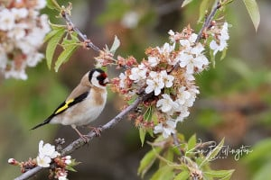 Goldfinch with Spring Blossom