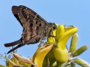Longtailed Skipper Butterfly