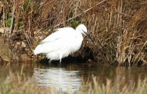 (Egret) Gone Fishin'
