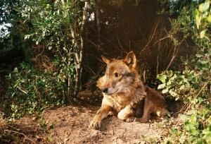 Furco the Iberian Wolf