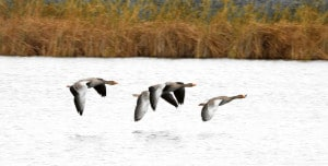 Greylag Migration