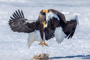 Stellar's Eagle