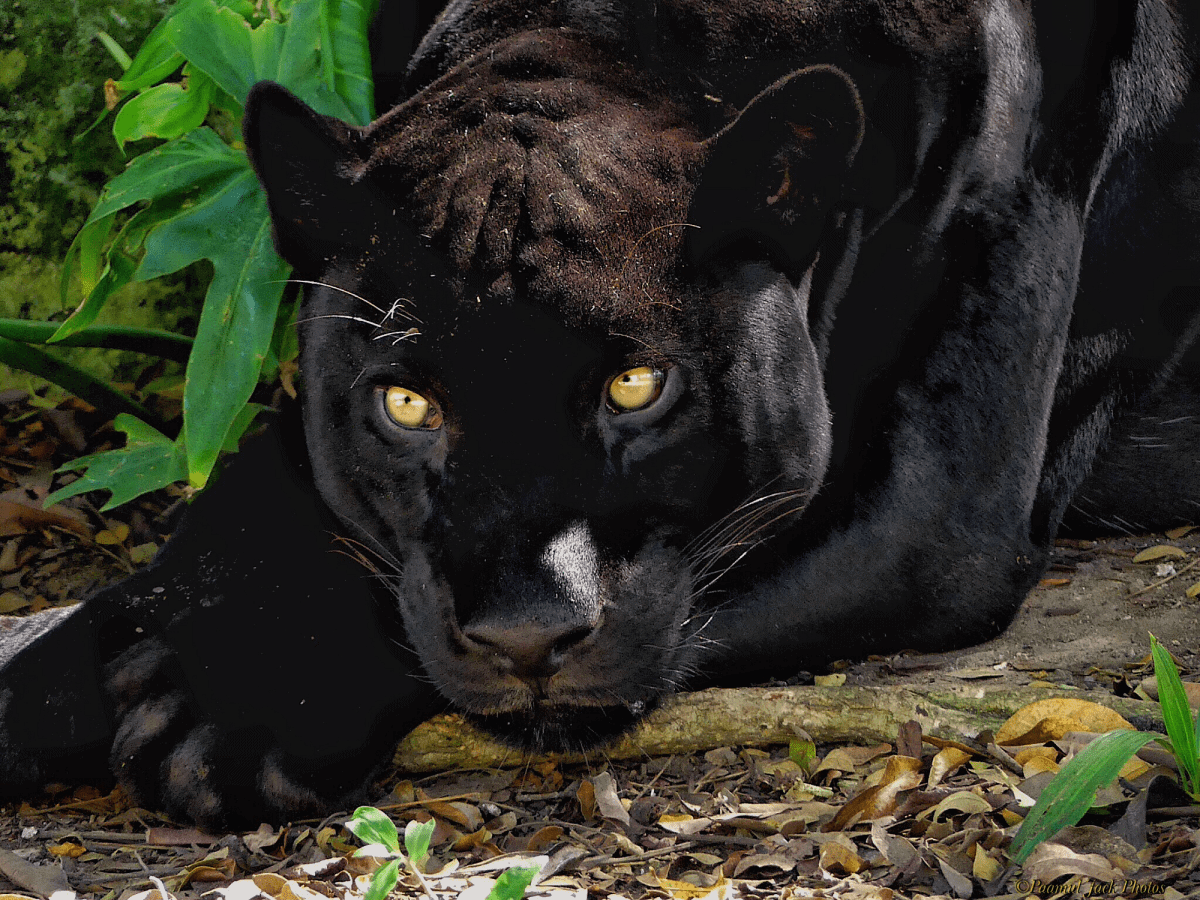 Something Looks Suspicious (Yucatan Panther) by Paamul Jack