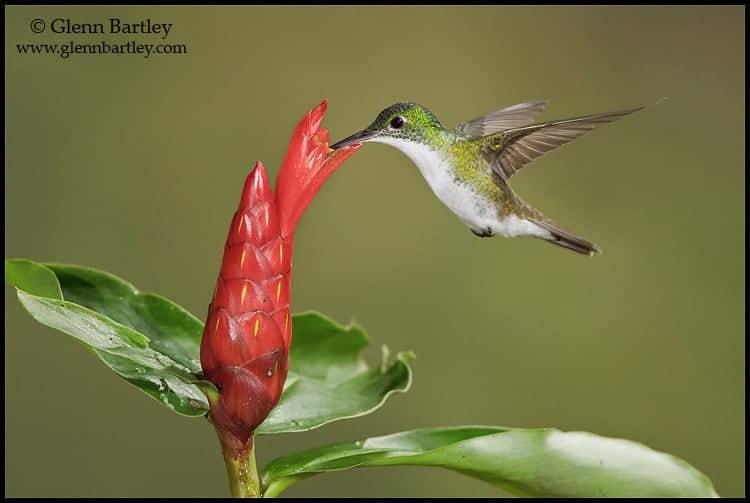 Andean Emerald hummingbird (Amazilia franciae)