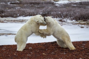 Tussle on the Tundra