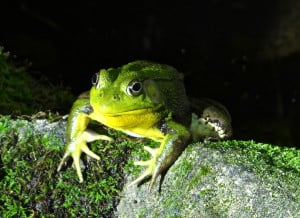 Green Frog Waiting