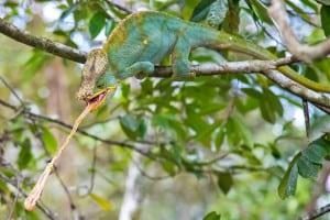 Chameleon, Feeding