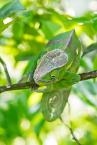 Chameleon, Two-banded