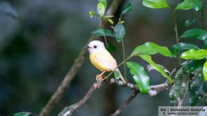 Leucistic Pale Yellow Robin