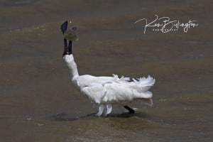 Caught It! Royal Spoonbill Fishing