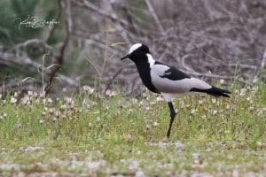 Blacksmith Plover - Vanellus Armatus
