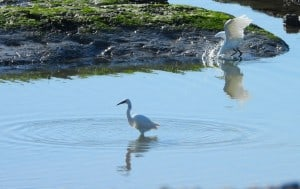 Egrets in Coastal Rock Pool