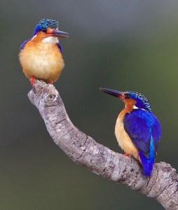 Madagascar Kingfishers