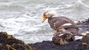 White-headed Steamer Ducks