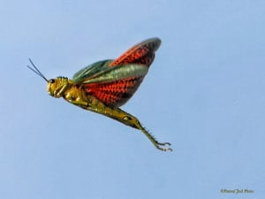 Locust in Flight