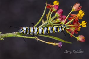 Queen Butterfly Caterpillar on Milk Weed