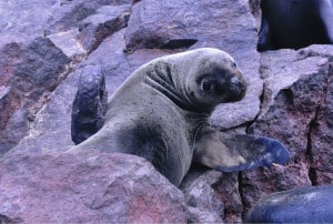 Baby Southern Sea Lion