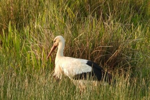 Great White Stork