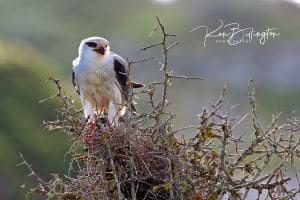 Prickly Perch - Black-shouldered Kite