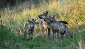 Wild Wolves in Poland