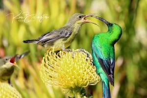 Feed Me Mama! - Malachite Sunbirds