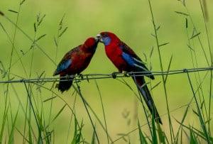 Natures Kiss - a Crimson Rosella Story