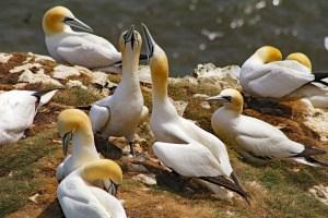 Gannets on Bempton Cliffs