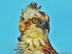 Mischievous Osprey