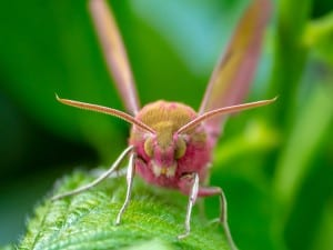 Eyeballing an Elephant Hawk Moth