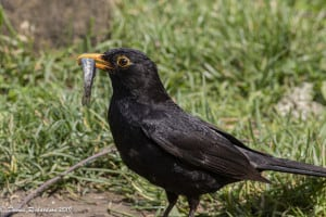 Blackbird Fishing