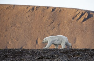 Polar Bear Yearling